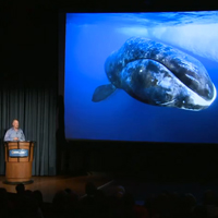 Paul Nicklen on Photographing Narwhals