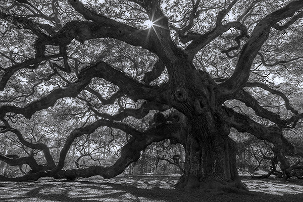 The Tree Lord - The Angel Oak on Johns Island, South Carolina