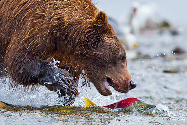 Blood Sport - Brown bear zeros in on a hapless sockeye salmon, Moraine Creek, Katmai National Park and Preserve, Alaska